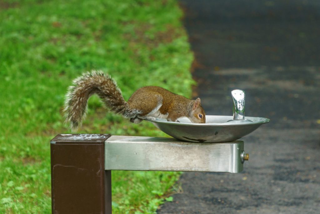 squirrel drinking from a water fountain in washington dc